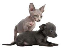 与a的奇瓦瓦狗配合的小猫小狗sphynx 库存图片