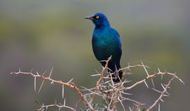 与Bedy眼睛的Beuatiful光滑的椋鸟科鸟 免版税库存图片
