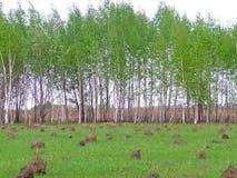 与birchwood和蚂蚁小山的农村风景 图库摄影