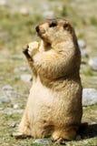 与bisquit的土拨鼠在草甸 库存照片