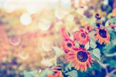 与bokeh和阳光的秋天红色向日葵,室外 库存照片