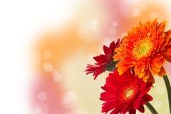 与bokeh的三朵五颜六色的大丁草雏菊 库存图片