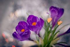 与bokeh的三朵番红花 免版税库存照片
