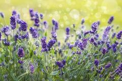 与bokeh的淡紫色花 免版税库存照片