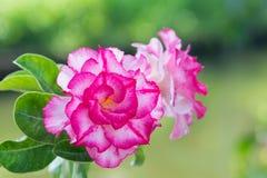 与bokeh的美丽的桃红色杜娟花花 库存照片