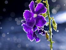 与bokeh的艺术性的宏观紫色花 免版税库存照片