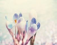 与bokeh,春天开花的自然背景的第一朵番红花 库存照片