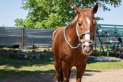 与briddle、台阶和桌的年轻马驹用食物 免版税库存图片