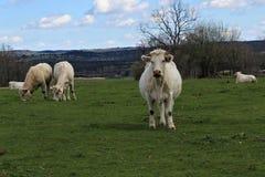 与calfs的母牛 免版税图库摄影