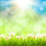 与camomiles的春天背景 免版税库存照片