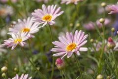 与canarian延命菊雏菊的花卉背景 免版税库存照片
