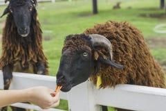 与carot的游人哺养的绵羊 库存图片