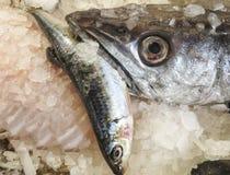 与catched更小的鱼的掠食性鱼 免版税图库摄影