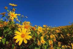 与clealy天空的黄色花 图库摄影