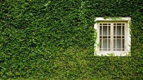 与Coatbuttons植物墙壁的白色窗口在绿色自然中 库存图片