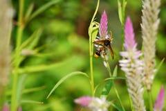 与cockscomb的蜂在夏天下午太阳开花 库存照片