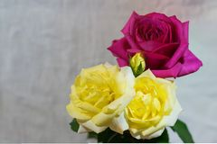与copyspace -消极空间的红色和黄色玫瑰 库存图片