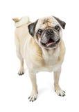 与curlty尾巴的愉快的哈巴狗狗 图库摄影