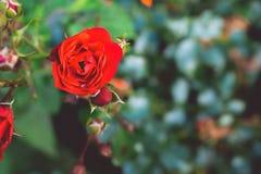与defocused叶子的一朵美丽的红色玫瑰 图库摄影