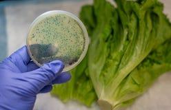 与E杆菌文化板材的新鲜的长叶莴苣 库存照片