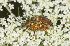 与endophallus的联接的花长角牛甲虫可看见在Verno 库存照片