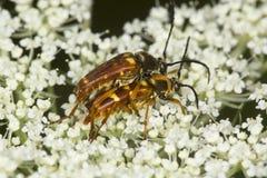 与endophallus的联接的花长角牛甲虫可看见在Verno 免版税库存图片