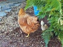 与folkowing的小鸡的鸡 免版税库存照片