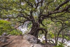与Gola Goruppu峡谷在背景中,撒丁岛,意大利河床的美丽的老树  免版税库存照片