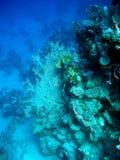 与gorgonian的珊瑚礁在热带海,水下 库存照片