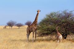与grazzing在树的小牛的成年女性长颈鹿 库存照片