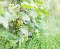 与gueen束的葡萄树 免版税图库摄影