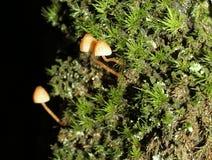 与Haircap青苔的黄色Mycena蘑菇 库存照片