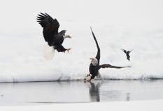 与haliaeetus leucocephalus战斗的白头鹰 免版税库存图片
