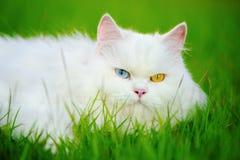 与heterocromatic 2只不同色的眼睛的白色波斯猫 免版税库存照片
