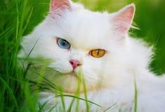 与heterocromatic 2只不同色的眼睛的白色波斯猫 库存图片
