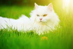 与heterocromatic 2只不同色的眼睛的白色波斯猫 库存照片