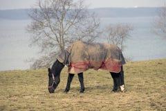 与horsecloth的马 免版税库存图片
