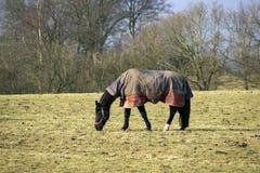 与horsecloth的马 库存照片