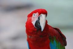 与Intersting标号的一只红色猩红色金刚鹦鹉由他的眼睛 免版税库存照片