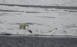 与It& x27的北极熊; s杀害 图库摄影