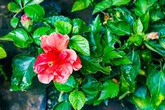 与jaba的红色木槿jaba花在庭院离开 图库摄影