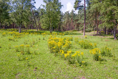 与Jacobaea寻常的植物的风景 库存照片
