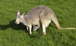 与joey的澳大利亚灰色袋鼠在她的囊 免版税库存图片