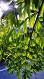 与Kithul树的太阳亮光 库存图片