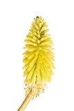与Kniphofia明亮的黄色花的短的词根  免版税图库摄影
