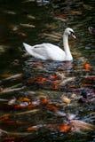 与koi鱼游泳的天鹅在池塘 免版税库存照片