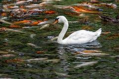 与koi鱼游泳的天鹅在池塘 免版税库存图片