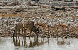 与Kudu的充满活力的waterhole和飞羚在埃托沙国家公园,纳米比亚 免版税库存照片