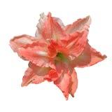 与lilly红色花的桃红色在被隔绝的白色 图库摄影