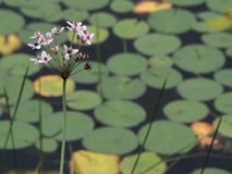 与lilypads的紫色花小群 免版税图库摄影
